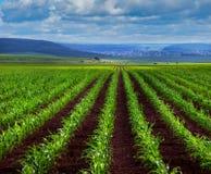 Lanzamientos jovenes del maíz verde en campo foto de archivo libre de regalías