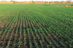 Lanzamientos jovenes del trigo de invierno en campo del verde de la primavera foto de archivo