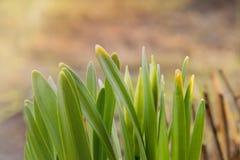 Lanzamientos jovenes, la primera primavera que planta en jardín foto de archivo