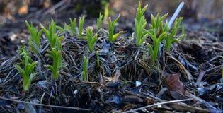 Lanzamientos tempranos de la planta de la primavera Fotos de archivo libres de regalías