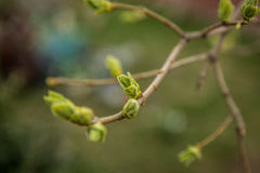Lanzamientos tempranos de la primavera con el fondo del azul de las hojas Imagenes de archivo