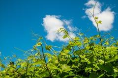 Lanzamientos verdes frescos de la vid foto de archivo
