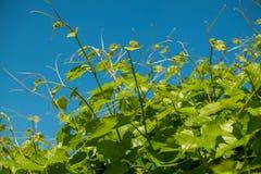 Lanzamientos verdes frescos de la vid fotografía de archivo