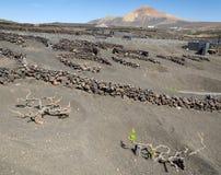 Αμπελώνες Lanzarote στο τοπίο ηφαιστείων Στοκ Εικόνες