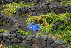 Lanzarote. Harvest in summer on the island of lanzarote Royalty Free Stock Photography