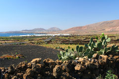 Lanzarote cactus, Canary Island Stock Photo