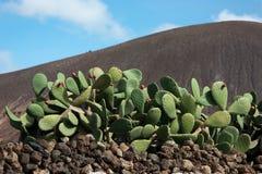 Lanzarote, cactus plant in a volcanic landscape Stock Photos