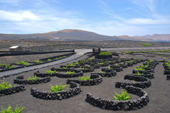 Lanzarote - Canary island. View of grapes cultivation fro wine production in Lanzarote's landscape Royalty Free Stock Photos