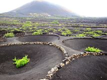 Lanzarote, Canary Islands. Grapevine on the volcano, Lanzarote, Canary Islands stock photos