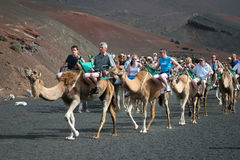 LANZAROTE, CANARY ISLANDS/SPAIN - AUGUST 8 : Caravan of camels c Stock Photo