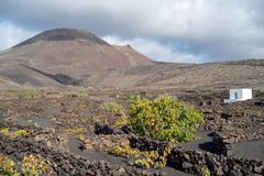 Lanzarote, Canary Islands, Spain, Vineyard on the lava. La Geria, Lanzarote Island, Canary, Spain, Vineyards in dark lava soil royalty free stock images