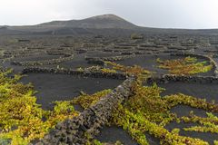 Lanzarote, Canary Islands, Spain, Vineyard on the lava. La Geria, Lanzarote Island, Canary, Spain, Vineyards in dark lava soil royalty free stock image
