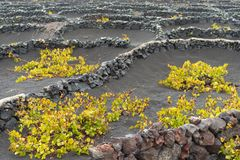 Lanzarote, Canary Islands, Spain, Vineyard on the lava. La Geria, Lanzarote Island, Canary, Spain, Vineyards in dark lava soil royalty free stock photos