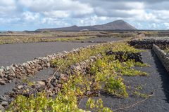 Lanzarote, Canary Islands, Spain, Vineyard on the lava. La Geria, Lanzarote Island, Canary, Spain, Vineyards in dark lava soil stock photography