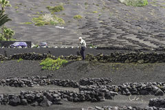 Lanzarote de wijngaard van La Geria op zwarte vulkanische grond Royalty-vrije Stock Fotografie