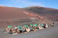 Lanzarote, dromedarissen die op toeristen wacht Stock Foto