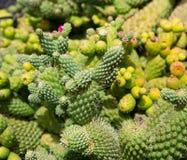Lanzarote Guatiza cactus garden in Canaries Royalty Free Stock Image