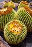 Lanzarote Guatiza cactus garden Echinocactus Macrocentra Royalty Free Stock Photo