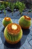 Lanzarote Guatiza cactus garden Echinocactus Macrocentra Royalty Free Stock Photos