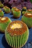 Lanzarote Guatiza cactus garden Echinocactus Macrocentra Stock Image