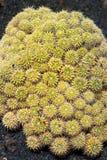 Lanzarote Guatiza cactus garden Mammillaria Compressa Stock Image