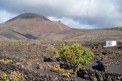 Lanzarote, Ilhas Canárias, Espanha, vinhedo na lava imagens de stock royalty free