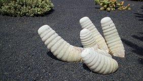 Lanzarote Kaktusowi ogródy 002 Zdjęcie Royalty Free