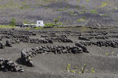 Lanzarote La黑色火山的土壤的Geria葡萄园 库存图片