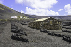 Lanzarote La Geria vineyard on black volcanic soil Royalty Free Stock Photos