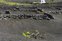 Lanzarote La Geria vineyard on black volcanic soil Royalty Free Stock Images