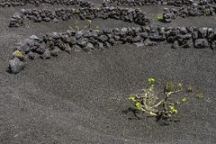 Lanzarote La Geria vineyard on black volcanic soil Stock Photos