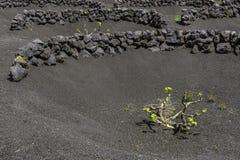 Free Lanzarote La Geria Vineyard On Black Volcanic Soil Stock Photos - 52373303