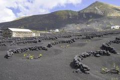 Lanzarote-Lageria-Weinberg auf schwarzem vulkanischem Boden Stockfotografie