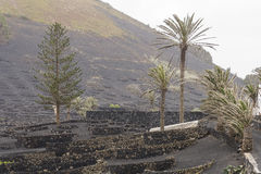 Lanzarote-Lageria-Weinberg auf schwarzem vulkanischem Boden Stockfotos