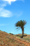 Lanzarote palm on a slope 01 Stock Photography