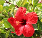 Lanzarote. Red flower of canaries Royalty Free Stock Images