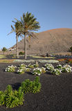 Lanzarote´s vegetation in street square Stock Images