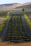 Lanzarote spain la geria vine screw gra Stock Images