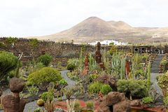 LANZAROTE SPANIEN - APRIL 21, 2018: Tropisk kaktusträdgård Jardin de Kaktus med vulkaniska berg i bakgrunden Arkivfoton