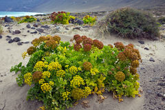 Lanzarote springtime, dune vegetation on Famara beach - Canary Islands. The natural vegetation to anchor the dune of popular beach of Famara, Spain royalty free stock images