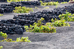 Lanzarote Vineyards Stock Photos