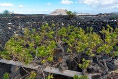 Lanzarote vineyards build on lava, La Geria wine region, malvasi Royalty Free Stock Photography