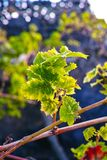 Lanzarote vineyards build on lava, La Geria wine region, malvasi Stock Photos