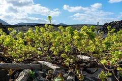 Lanzarote vineyards build on lava, La Geria wine region, malvasi Stock Photography