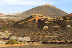 Lanzarote vineyards landscape Royalty Free Stock Images