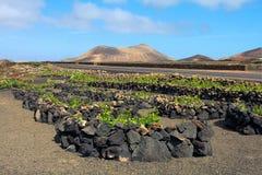 Lanzarote wijngaarden, Spanje Stock Foto