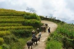 Lao Cai, Вьетнам - 7-ое сентября 2017: Проселочная дорога при индийские буйволы идя домой среди террасного поля риса в y Ty, райо Стоковые Изображения