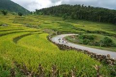Lao Cai, Vietnam - 30 agosto 2017: Paesaggio a terrazze del giacimento del riso nella raccolta della stagione con gli scolari che Immagini Stock