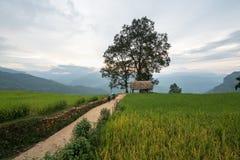 Lao Cai, Vietnam - 30 Augustus, 2017: Terrasvormig padieveldlandschap met weg en grote boom in Choan toen, Y Ty, Knuppel Xat Royalty-vrije Stock Foto's