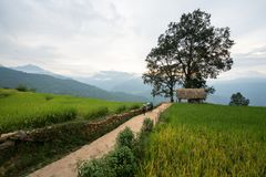 Lao Cai, Vietnam - 30 Augustus, 2017: Terrasvormig padieveldlandschap met weg en grote boom in Choan toen, Y Ty, Knuppel Xat Stock Fotografie